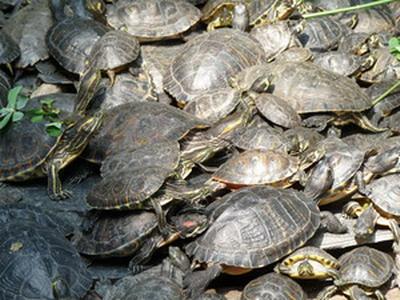schildpadden zijn verwant aan krokodillen