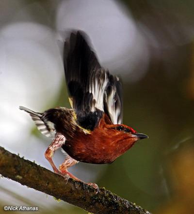 stompveermanakin maakt geluid met zijn vleugels