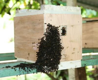 darrenverzamelplaats van Scaptotrigona mexicana